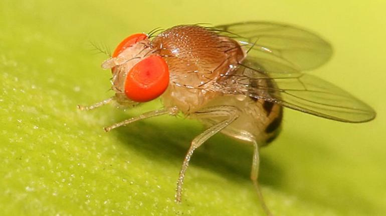Ученые: сексуально неудовлетворенные мухи «заливают горе» этанолом