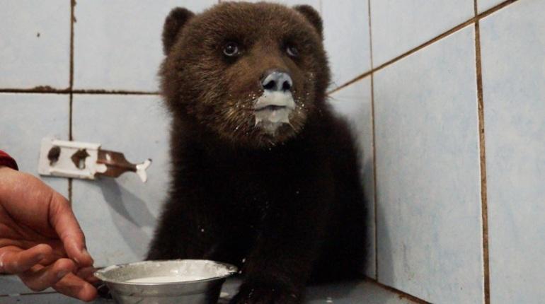 В «Велесе» выхаживают раненого медвежонка