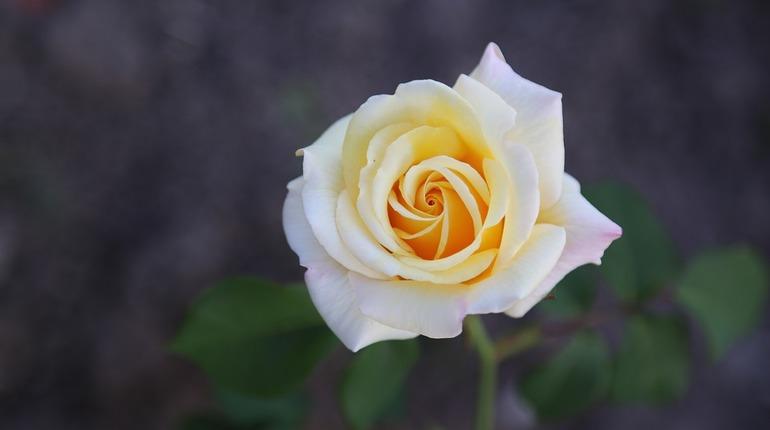 зеркалом роза вайт шоколад фото насыщенного голубого