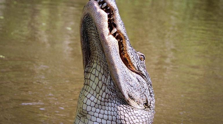 В США аллигатор утащил ребенка под воду