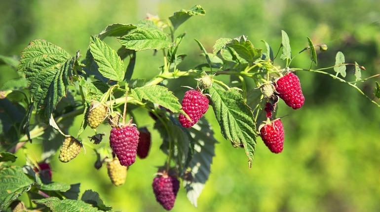 Агрономы объяснили, рядом с чем нельзя сажать малину