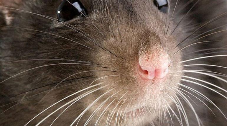 Крысы могут воссоздавать данные изэпизодической памяти— Ученые