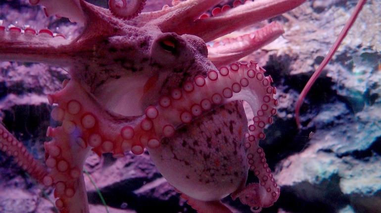 Осьминоги – инопланетяне, которые приспособились к Земле