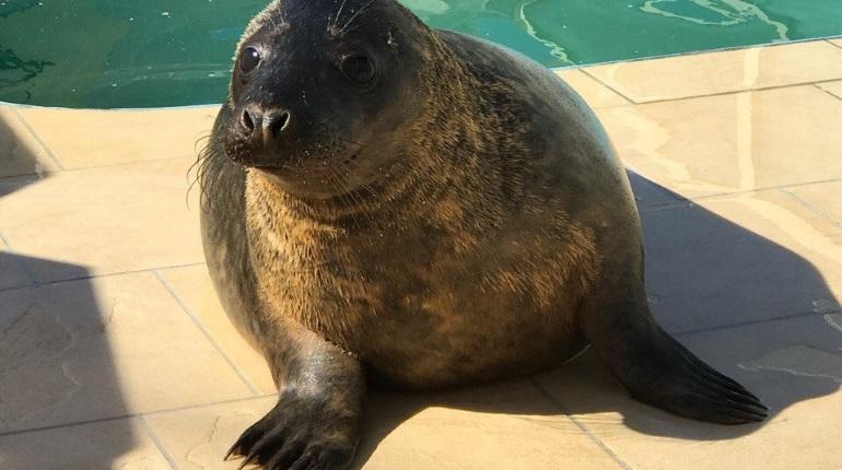 Толстенький тюлененок Гоглик вернулся вморе