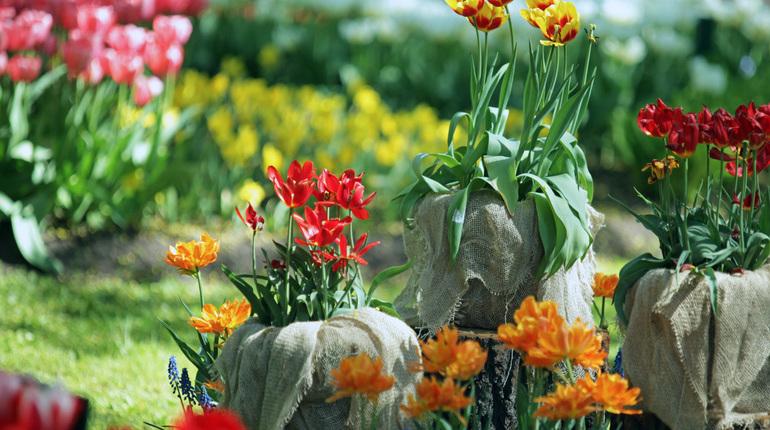 У тюльпанов в ЦПКиО есть шансы процвести до фестиваля