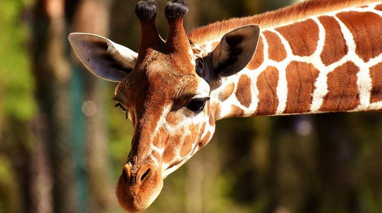 Жирафы в очередной раз удивили биологов