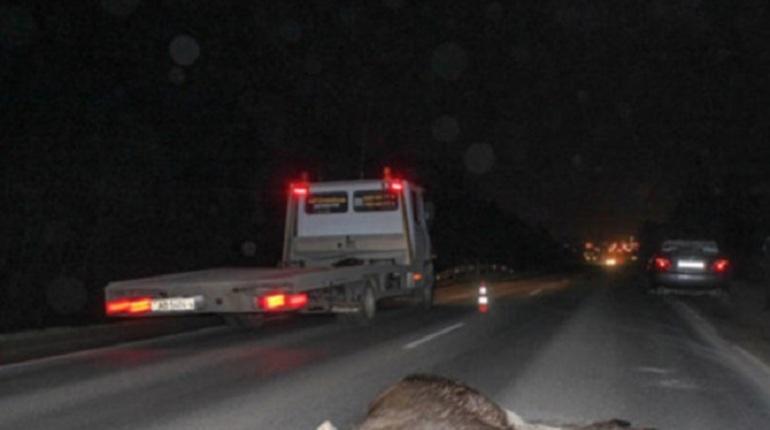 В Ленобласти из-за столкновения с лосем погиб мотоциклист