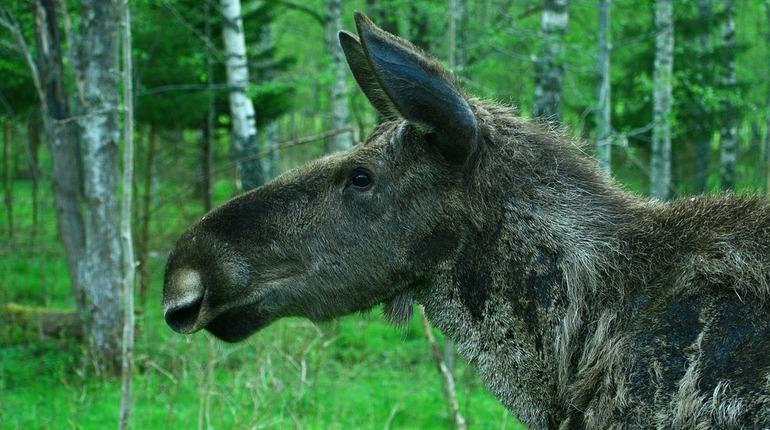У молодых лосей в Петербурге и Ленинградской области начался гон. Как раз сейчас лосихи рожают потомство, а своих уже подросших годовалых детей изгоняют — за несколько дней до родов.
