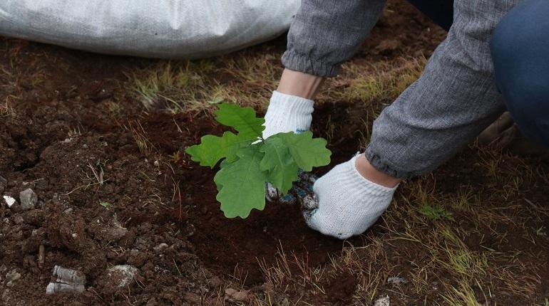 На Канонерском острове посадили 315 саженцев дуба