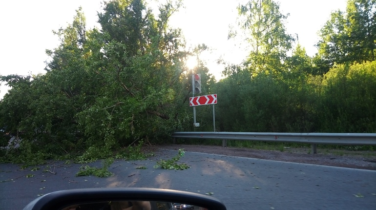 В сети рассказали о последствиях сильного штормового ветра, который настиг Ленинградскую область в День России. Во Всеволожске прямо на проезжую часть рухнуло дерево.