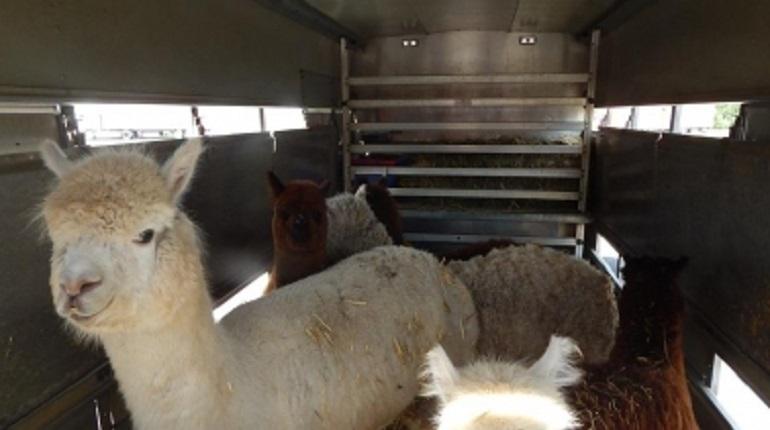 Сотрудники Россельхознадзора задержали до выяснения обстоятельств ввоз в Россию шесть альпак. Парнокопытных пытались провести через пункт пропуска «Бурачка» из Нидерландов в Псковскую область.