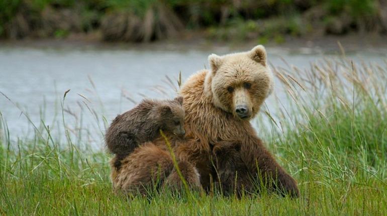 Российский карантинный центр диких животных «Велес» в Ленинградской области собирает деньги, чтобы перевезти трех медвежат-сирот. Двое из них после выкармливания смогут вернуться в дикую природу.