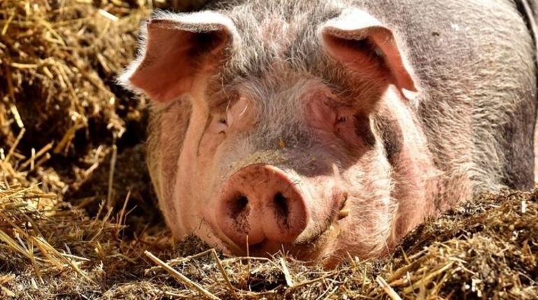 Из-за АЧС Белоруссия запретила поставки свинины из Ленобласти