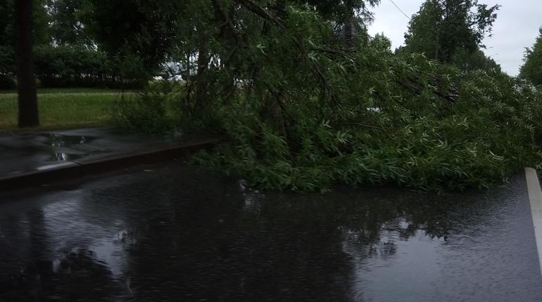 Рухнувшее дерево перекрыло дорогу в Колпино