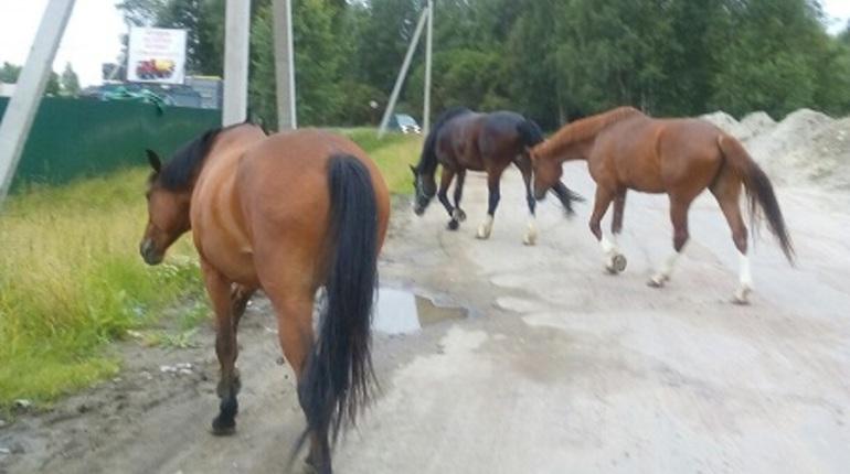 В Янино водителей напугали три потерявшиеся лошади