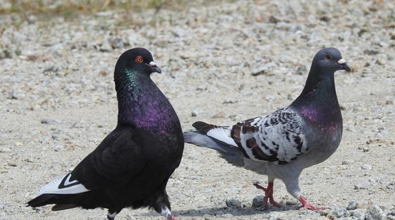 Немецких голубей не пропустили в Псковскую область