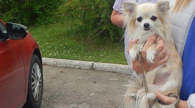 В начале недели Управлением Россельхознадзора по Санкт-Петербургу, Ленинградской и Псковской областям была остановлена собака породы Чихуахуа, со своей хозяйкой они направлялись в Псков.