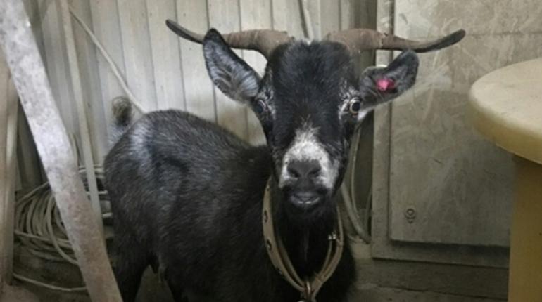 У Ржевки нашли одинокую чипированную козу-потеряшку