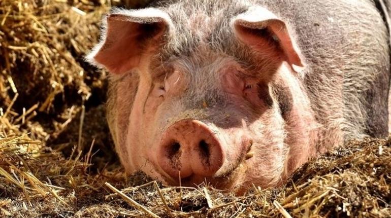 В Волосовском районе Ленобласти зарегистрировали вспышку африканской чумы свиней среди домашних свиней.