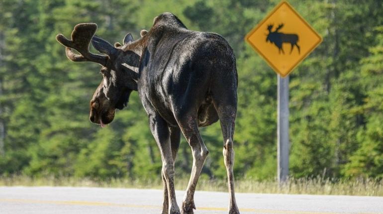 Ночной лось выскочил на дорогу на Новоприозерском шоссе