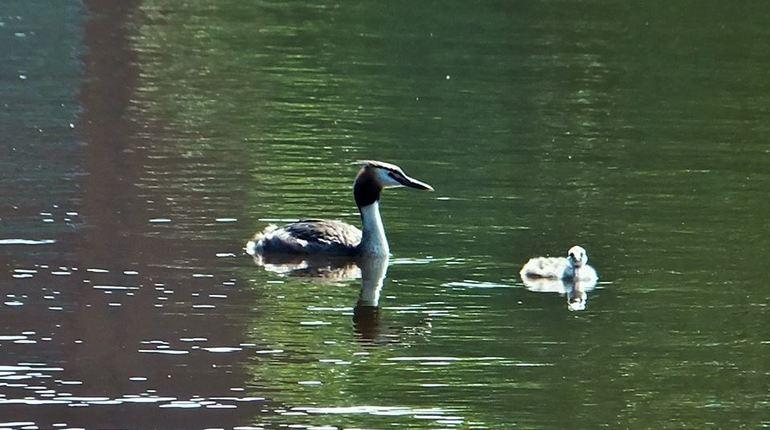 На искусственном озере в Сестрорецке поселилась чонга