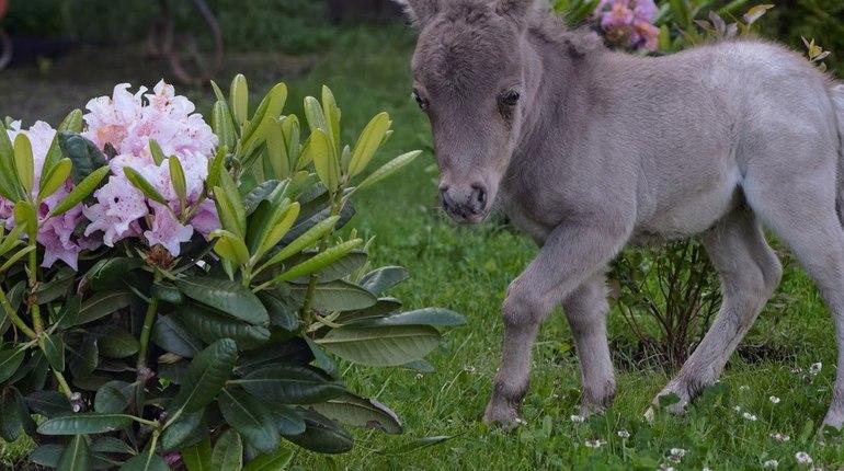 В Петербурге покажут самого крошечного в мире коня