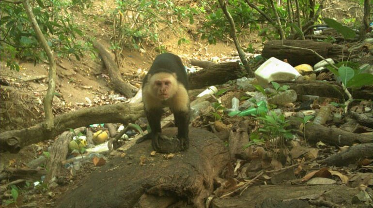 Группа обезьян Панамы вступила в каменный век