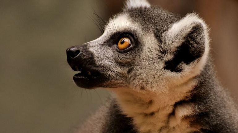 Мадагаскарские лемуры оказались на грани вымирания