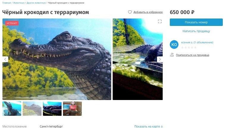 В Петербурге продаётся крокодил «под ключ»