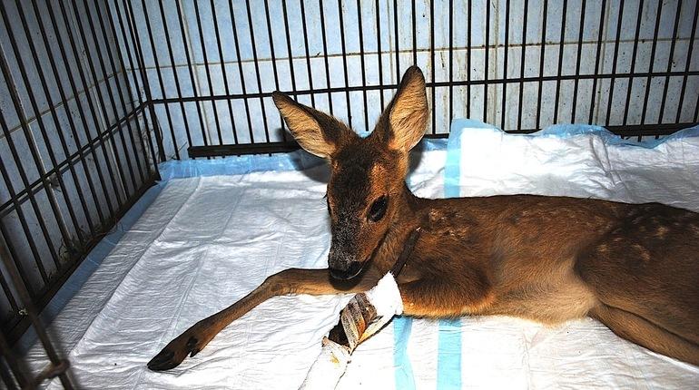 Раненой косуле, которая вышла к людям в Ленобласти, так и не смогли помочь. Поступив в Российский карантинный центр диких животных «Велес», она прожила несколько часов.