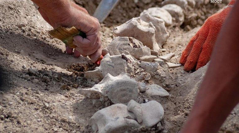 Кости древнего кита на Керченском полуострове сделали во время раскопок, предваряющих строительство железнодорожной части Крымского моста. Он пролежал в земле около 10 млн лет.
