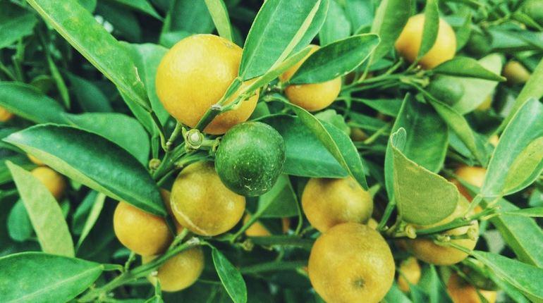 Тонны аргентинских лимонов не пропустили в Санкт-Петербург