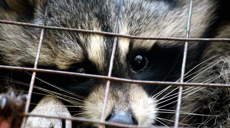В контактном зоопарке держали «нелегальных» енотов-полоскунов и белку