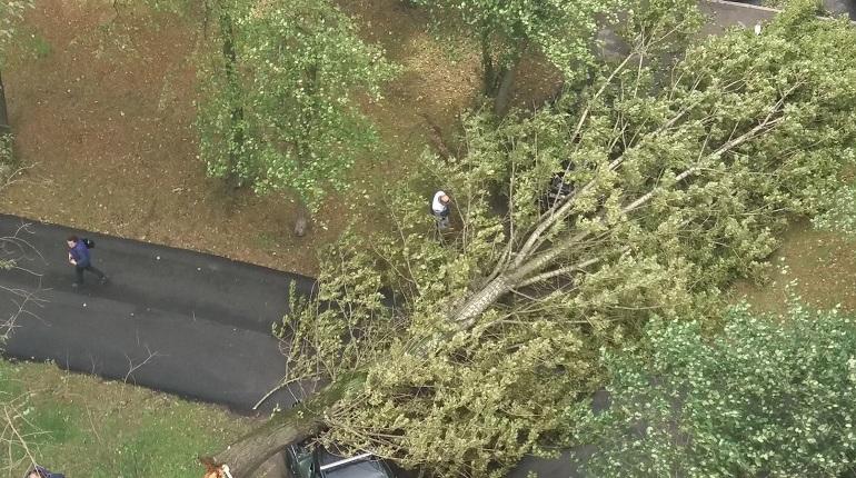 В Петербурге штормовой ветер успел повалить уже пять деревьев.