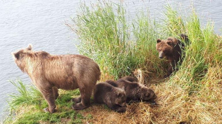 Медведица-героиня усыновила медвежонка в заказнике на Камчатке