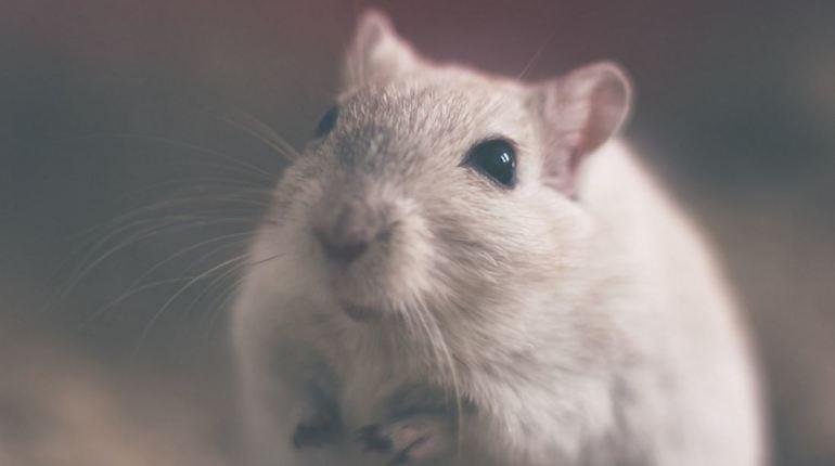 Группа ученых провела удивительный эксперимент, позволивший использовать генно-модифицированные клетки кожи для постоянной продукции фермента, который разрушает наркотическое вещество непосредственно в организме. Опыт провели на лабораторных мышах.