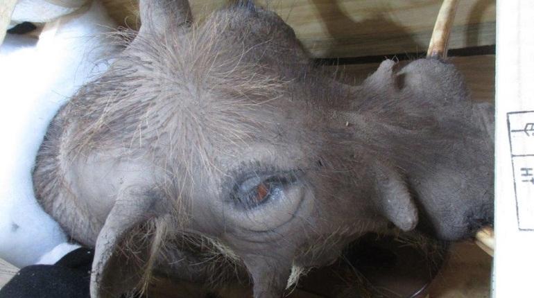 В Пулково прибыло чучело кабана из ЮАР, которого петербуржец подстрелил на охоте. Экзотический груз прошел инспекцию Россельхознадзора.