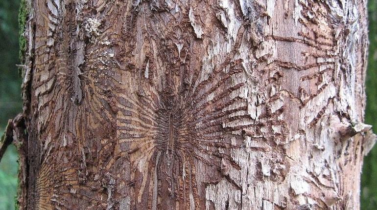 Петербургские деревья смертельно больны