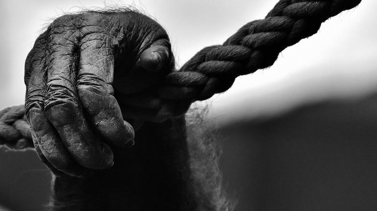В грузовом терминале аэропорта Пулково задержали обезьяну из Чехии, которая прибыла в Санкт-Петербург самолетом в Ленинградский зоопарк.