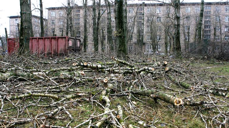 Петербург хотят оставить без вязов и тополей