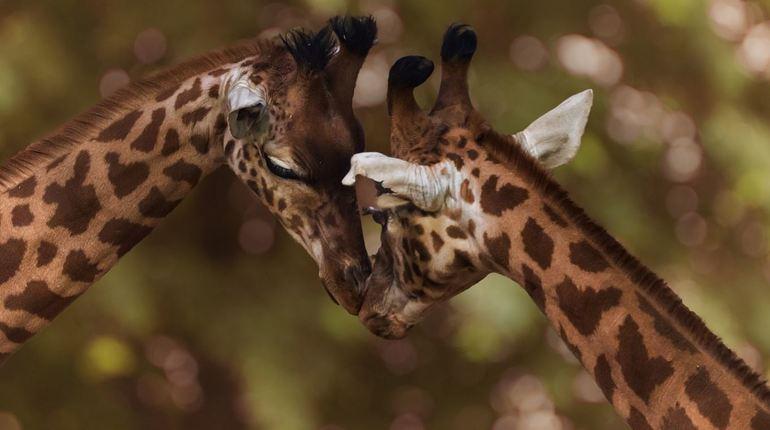 Ученые выяснили, кто «дарит» жирафам причудливые узоры на теле