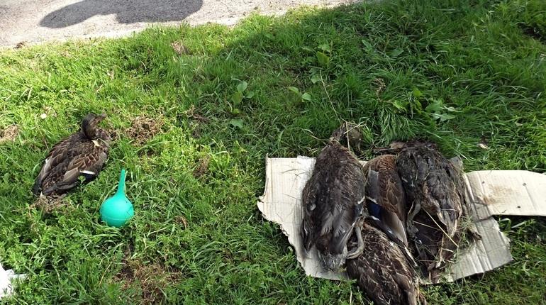 Результаты очередных исследований реки Новая будут оглашены ориентировочно в начале следующей недели. В локальную экологическую катастрофу водоем превратился еще прошлой весной. За это время было выдвинуто с десяток версий того, что могло стать причиной неприятного запаха и гибели рыб и птиц на реке. Все они, впрочем, как считают активисты, лишь попытки отвлечь внимание от главного виновника – аэропорта
