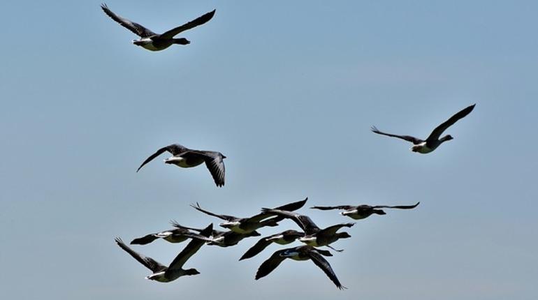 В Петербурге началась осенняя миграция птиц