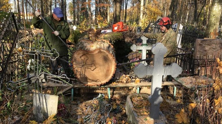 Распиленные деревья до сих пор не вывезли с территории Серафимовского кладбища в Приморском районе Петербурга.