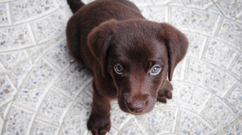 Окрас собаки может быть связан со здоровьем - по крайней мере, для одной популярной породы – лабрадора.