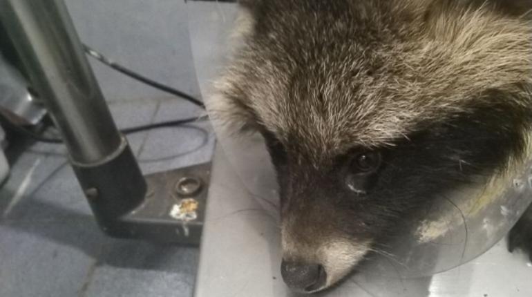 Самец енотовидной собаки поступил в центр помощи диким животным