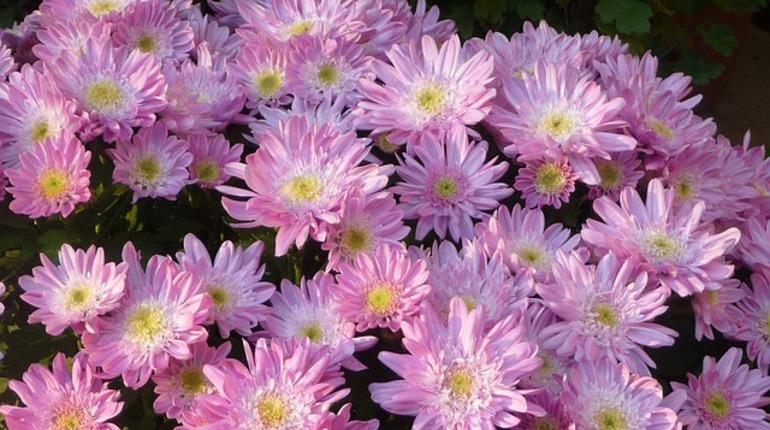 В Петербурге обнаружили хризантемы, зараженные цветочным трипсом.