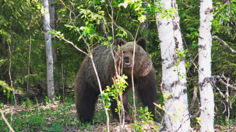 Жителей Подпорожья в Ленобласти просят не оставлять на кладбище еду на могилах, а то и вовсе не посещать его в течение какого-то времени. Дело в том, что на кладбище стали регулярно видеть медведя.
