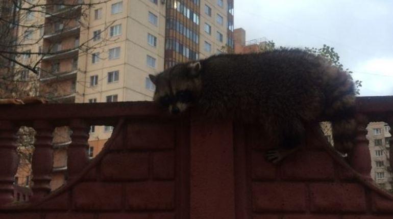 В сети активно обсуждают судьбу потерявшегося в Петербурге енота, который устроился на заборе в ожидании помощи. Автор поста уточняет, что зверек замерз и напуган.