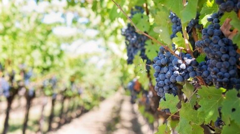 Поддержку российских виноделов увеличат в 2 раза